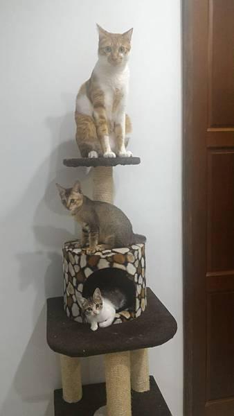 06用貓樹貓跳台或是家具來創造幾個制高點