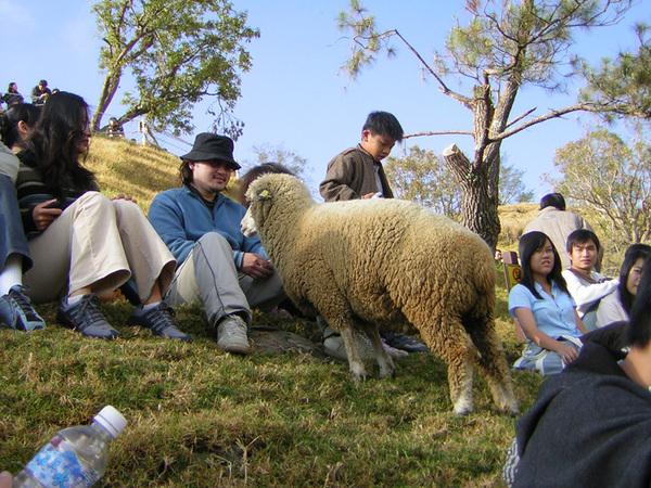 初見偷跑的羊