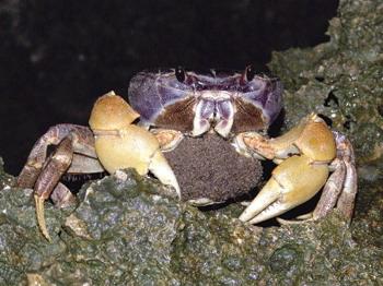 毛足圓軸蟹-抱卵母蟹-小琉球旅遊