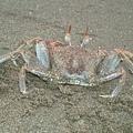 角眼沙蟹-小琉球