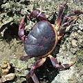 紫地蟹-小琉球