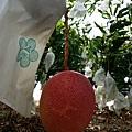 小琉球珊瑚芒果35926.jpg