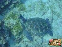 小琉球海龜