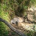 blue mountain野生的袋鼠