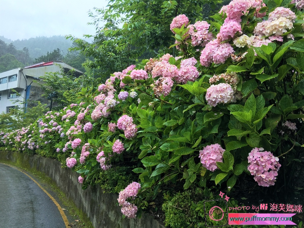 2017/07/04 杉林溪賞繡球花