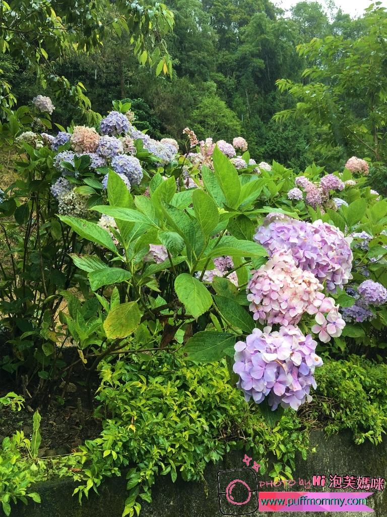 2017/07/04 杉林溪繡球花季