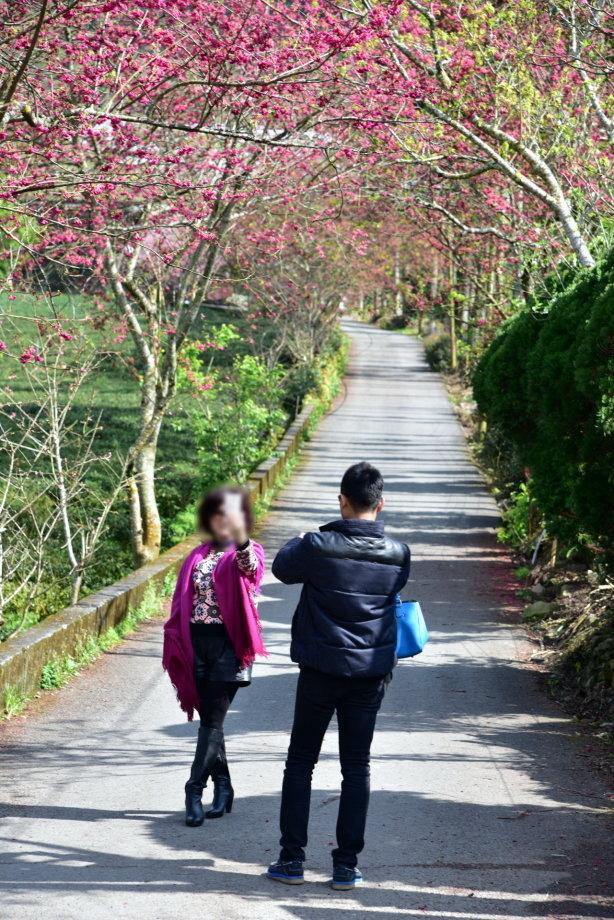 浪漫的季節在玉山草坪頭—賞櫻看桃趣