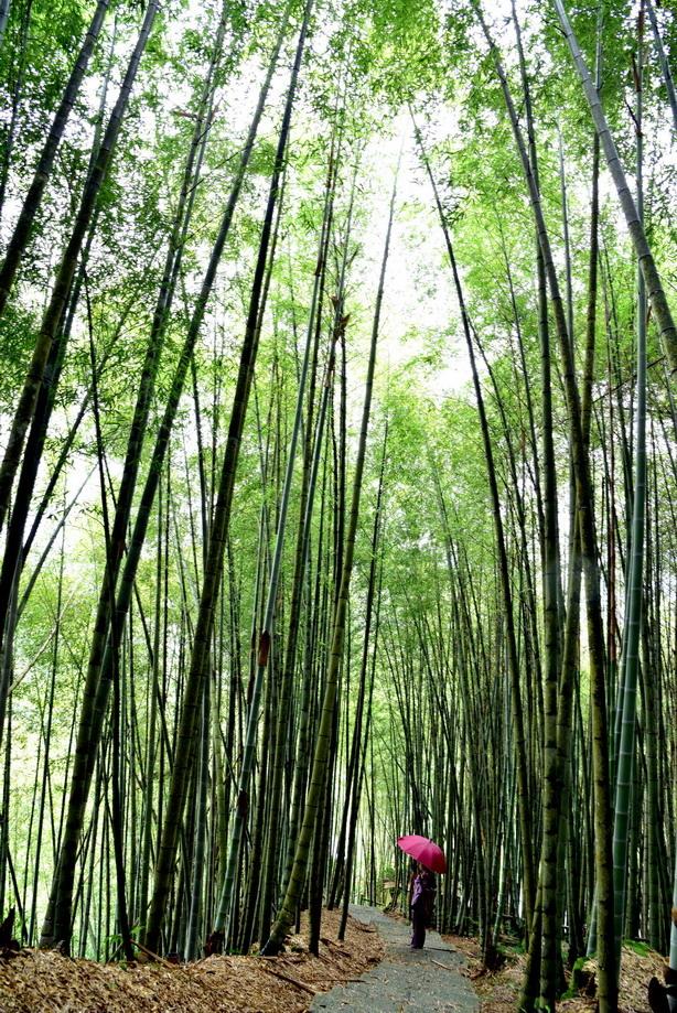 綠色竹林隧道~~瑞里一帶的優美翠綠竹林步道