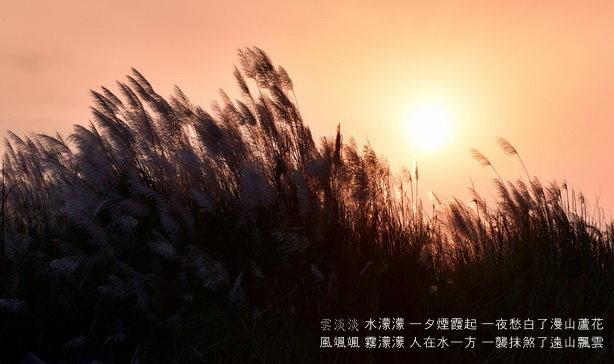 轉眼又初秋~~蘆花飛絮,一抹斜陽醉處,孤影共伴紅景天
