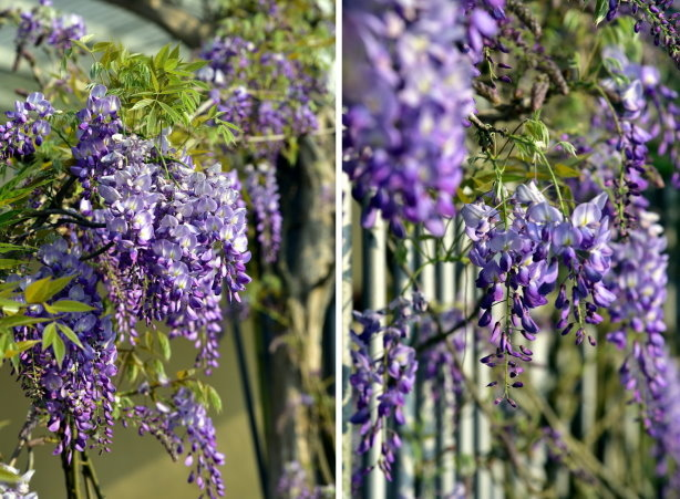 紫藤合 5.jpg