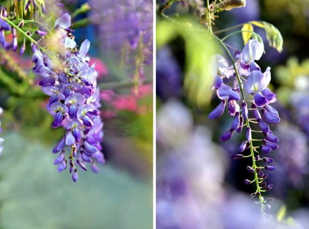 紫藤合1.jpg