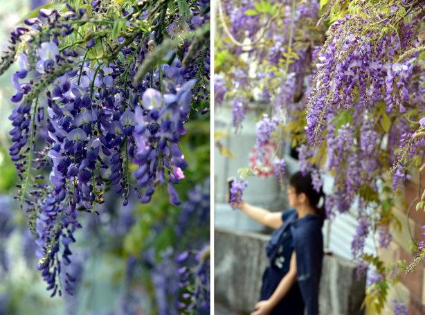 紫藤合 4.jpg