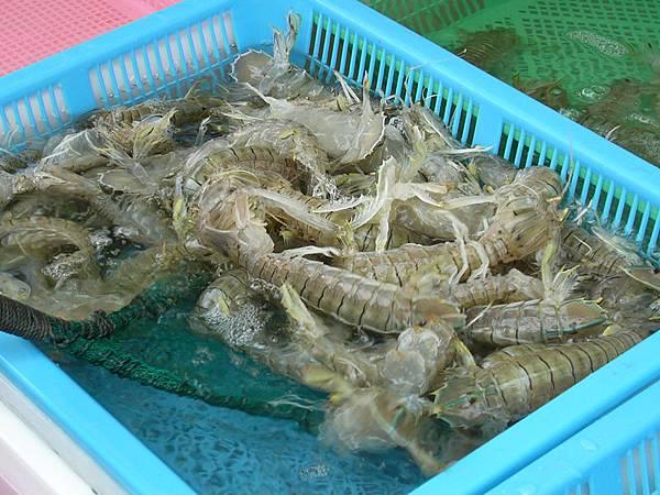 瀨尿蝦.jpg