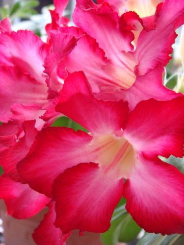 2008夏-沙漠玫瑰.JPG