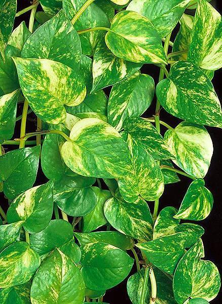 jpg_E_una_delle_piante_d_appartamento_piu_coltivate-_Facile_anche_in_idrocoltura_c_Mazza.jpg