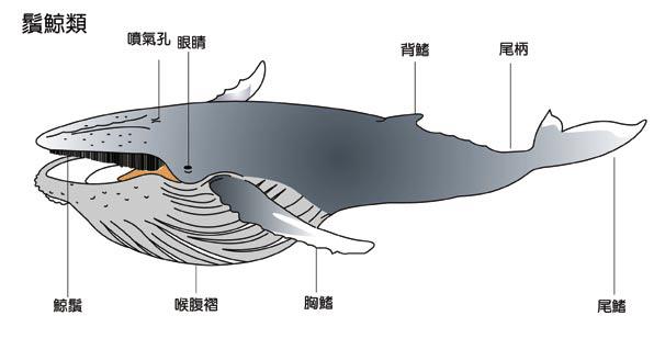 鬚鯨圖.jpg