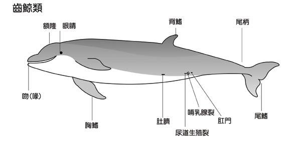 齒鯨圖.jpg