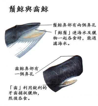 鬚鯨齒鯨.jpg