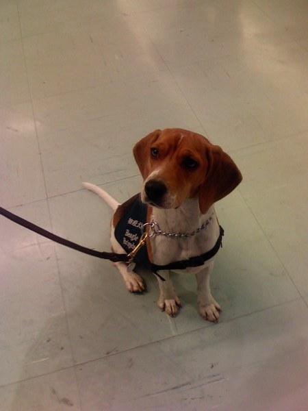 桃園機場..等待旅客聞香香~@@~(領行李時有三隻米格魯再迎接旅客..牠們是很盡責的乖狗狗!!