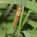 蜻蜓的幼蟲--水蠆