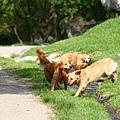寬廣的草地狗子們瘋狂奔跑
