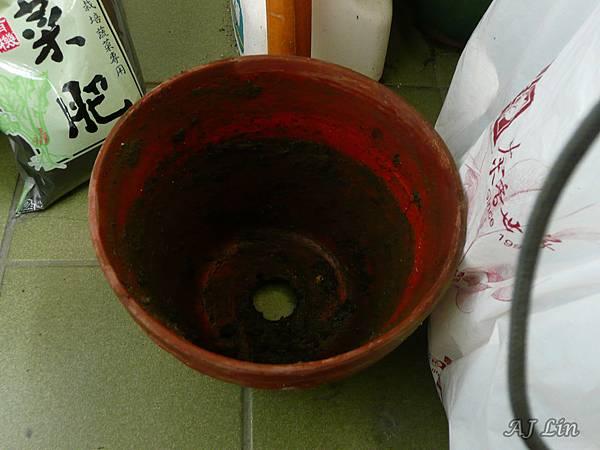 巨鷲玉栽種-1瓷盆