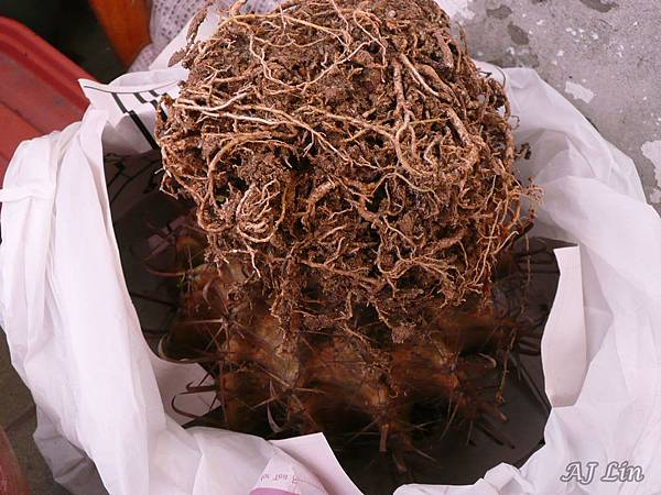 巨鷲玉栽種-5巨鷲玉倒頭栽