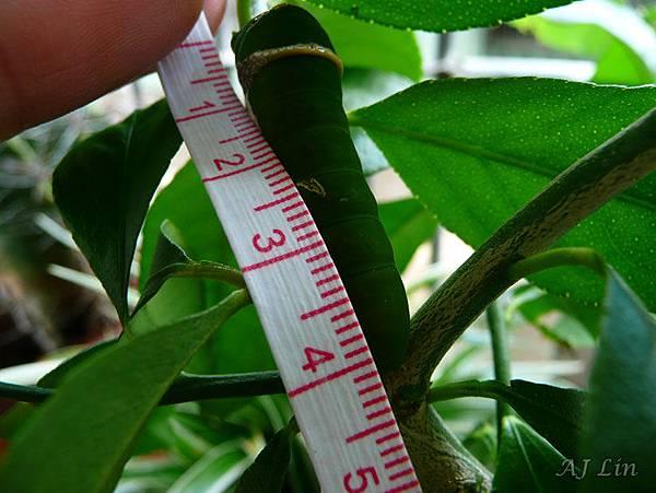 無尾鳳蝶-幼蟲期五齡-4cm (更青翠色的保護色.受攻擊會伸臭角)
