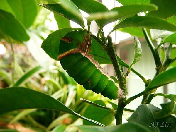 無尾鳳蝶-蛹期-前蛹 (吐絲座懸吊蛹)