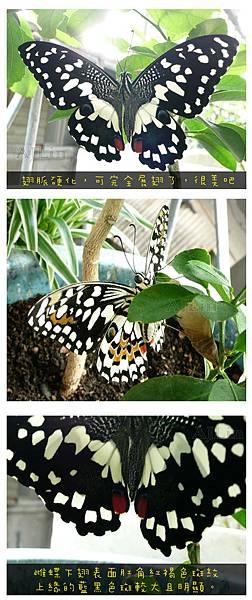 無尾鳳蝶-展翅