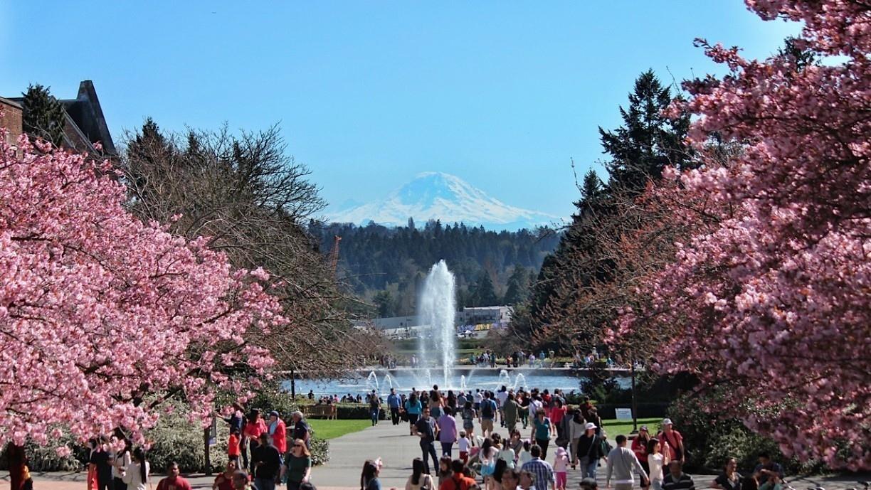 華盛頓大學 噴泉 櫻花 雷尼爾山 UW