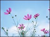 s1600x1200_Blue_Sky_Flowers_HM026_350A0.jpg