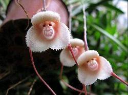 猴頭花.JPG