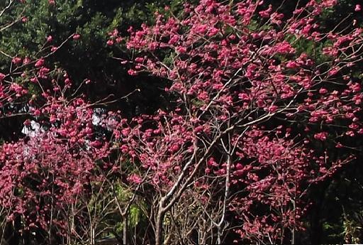 前港公園櫻花-2