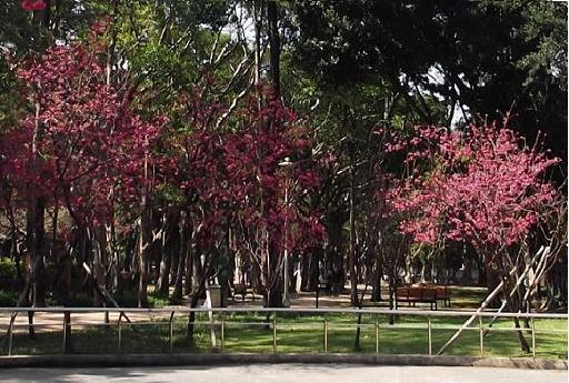 前港公園櫻花-1