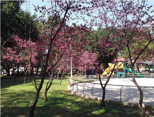前港公園櫻花 04