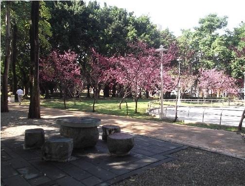 前港公園櫻花 05