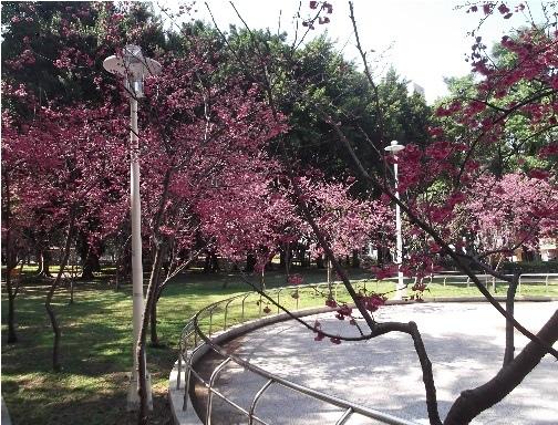 前港公園櫻花 06