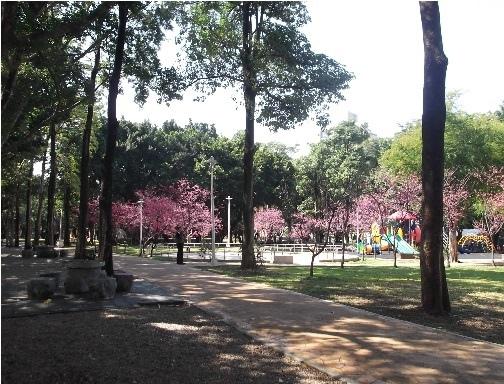 前港公園櫻花10