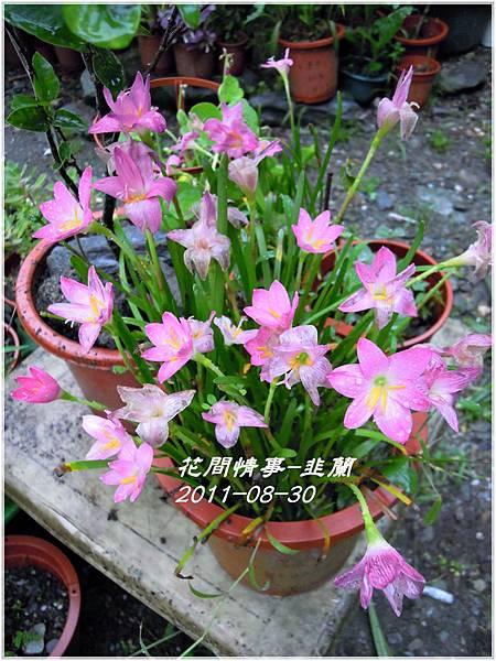 2011-08-韭蘭5.jpg