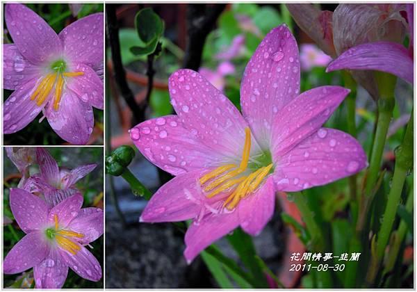 2011-08-韭蘭7.jpg