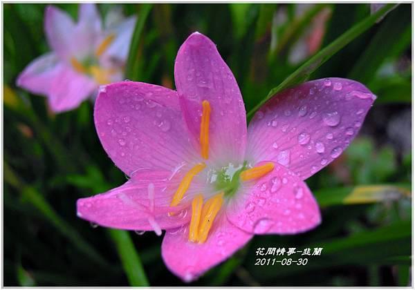 2011-08-韭蘭6.jpg