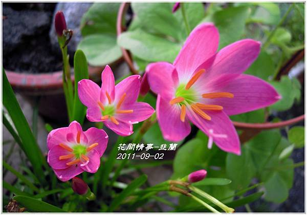 2011-08-韭蘭8.jpg