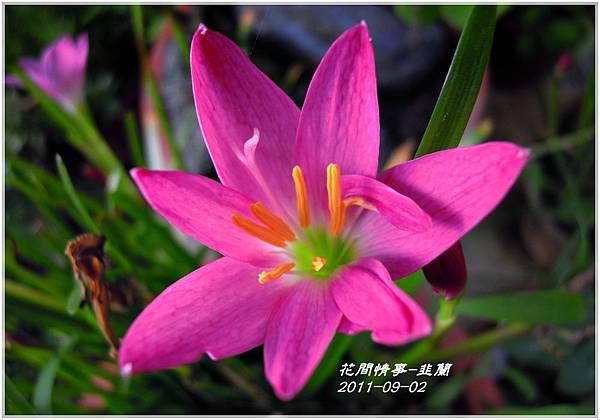 2011-08-韭蘭9.jpg