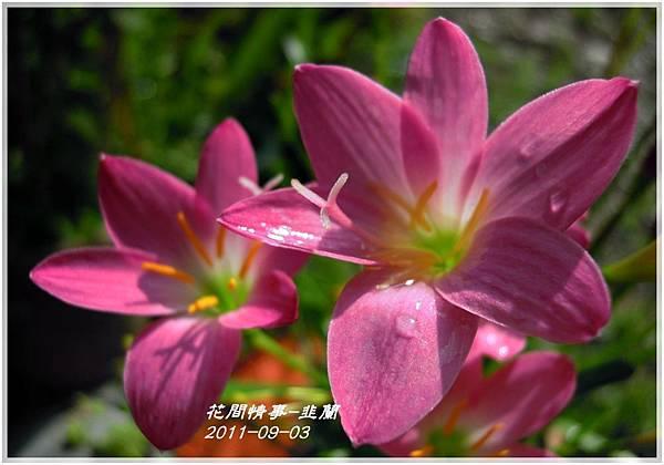 2011-08-韭蘭10.jpg