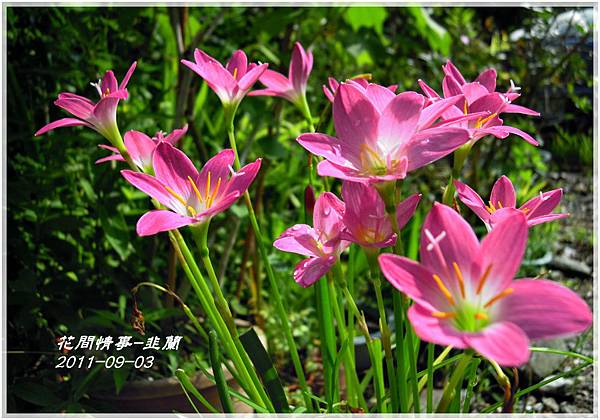 2011-08-韭蘭11.jpg