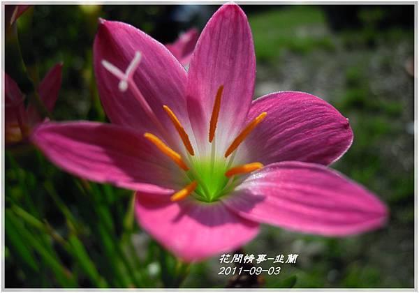 2011-08-韭蘭12.jpg