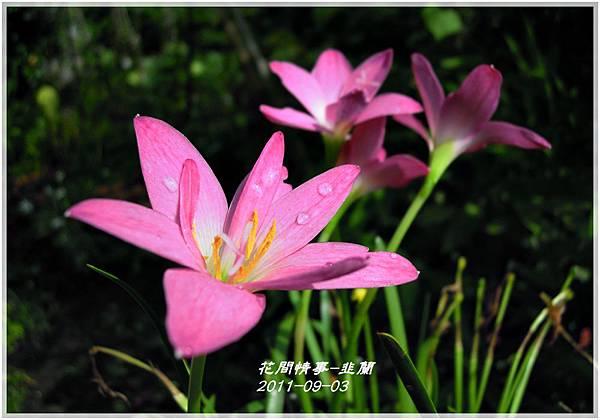 2011-08-韭蘭15.jpg