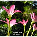 2011-08-韭蘭14.jpg