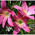 2011-08-韭蘭16.jpg